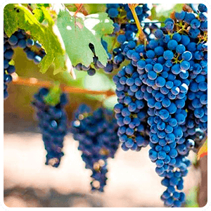 Vineyards of Pisco