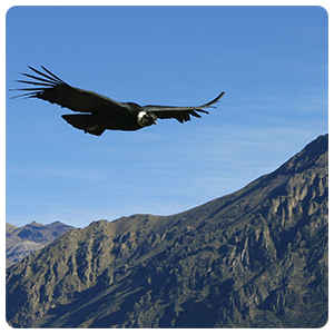 Condor flying over the Colca Valley
