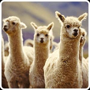 Herds of Alpacas at Vinicunca
