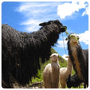 Llamas at Awana Kancha Center