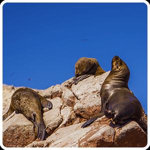 Sea lions resting in Ballestas
