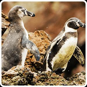 Humboldt Penguins living at the Ballestas Islands