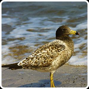 Paracas Bird