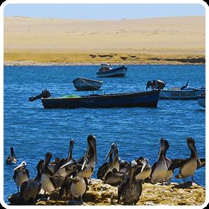 Pelikan on the Paracas Beach