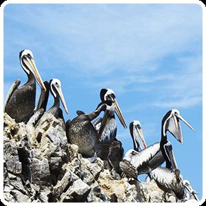 Pelikans group at the Ballestas Islands