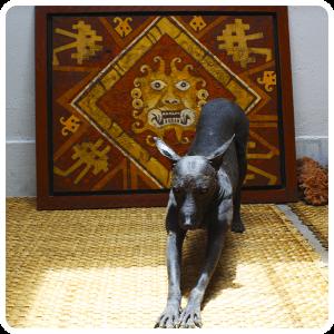 Viringo Peruvian Dog in Trujillo